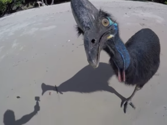 Wild cassowary on the beach, expecting an edible handout.