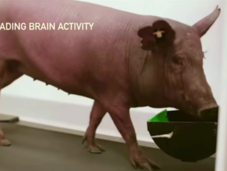 A pig with a computer chip implanted in it's brain walks on a treadmill while brain activity is recorded through the implant. Location: Neuralink's headquarters in Fremont, California. Image captured by the News Blender.