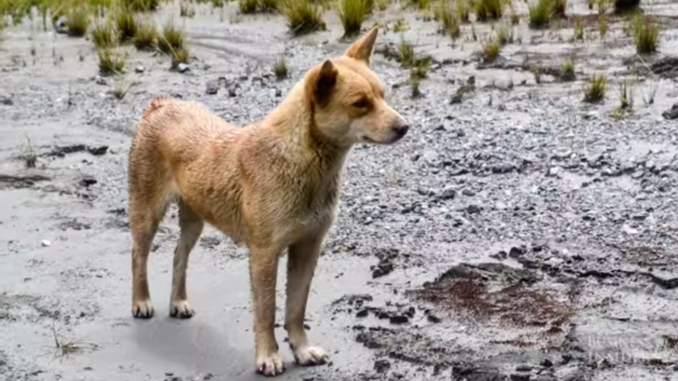 A New Guinea singing dog in the wild. Image captured by the News Blender.