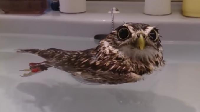 An owl in the bath.