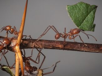 Atta cephalotes(Leaf-cutter ants).