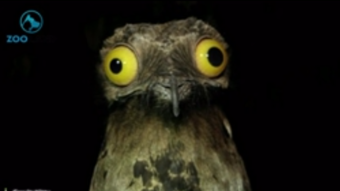 The great potoo (Nyctibius grandis).