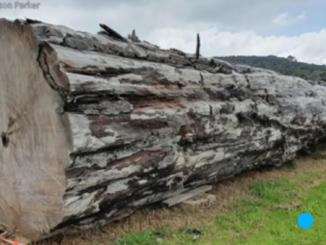 An ancient kauri tree log from Ngāwhā, New Zealand.
