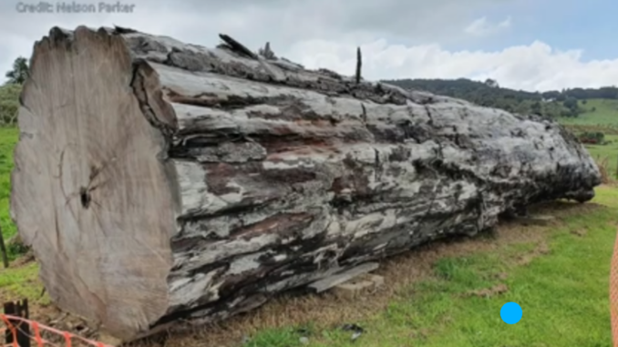 An ancient kauri tree log from Ngāwhā, New Zealand.